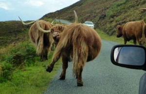 cows on the road to scotland