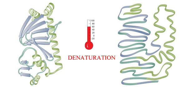 denatured-protein