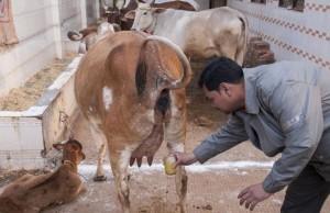 drinking-urine- Gomutra Ark